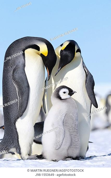 Emperor Penguin Aptenodytes forsteri adults and chick  Snow Hill Island, Antarctic Peninsula, Antarctica