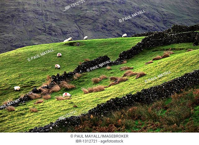 Stone wall fences and grazing sheep, landscape, Republic of Ireland, Europe