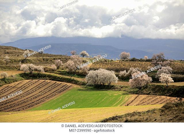 Rioja wine region, blossom almond trees and vines in San Asensio, La Rioja, Spain
