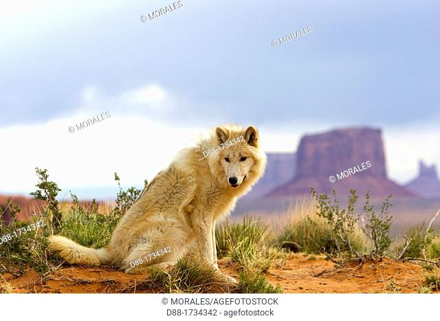 United Sates , Utah , Wolf or Gray Wolf orTimber Wolf  Canis lupus