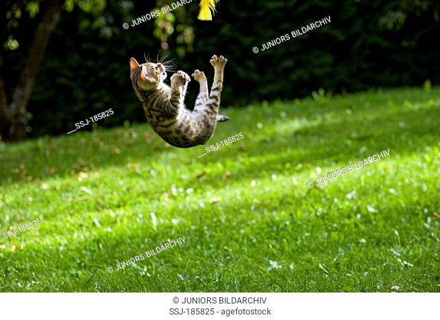 Bengal Cat. Kitten (10 weeks old, rosetted pattern) on a lawn, jumping for feather toy