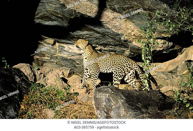 Leopard (Panthera pardus). Kruger National Park, South Africa