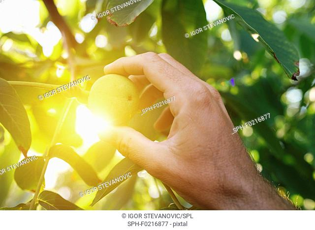Farmer examining walnut fruit