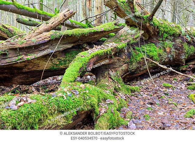 Old oak tree broken lying and old natural deciduous stand in fall, Bialowieza Forest, Poland, Europe