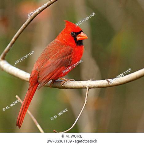 common cardinal (Cardinalis cardinalis), male sits in a bush, USA, Florida