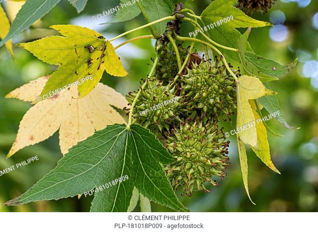 American sweetgum / American storax / hazel pine / bilsted / redgum (Liquidambar styraciflua) close up of immature fruit