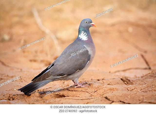 Common Woodpigeon (Columba palumbus) at muddy puddle. Lleida province. Catalonia. Spain