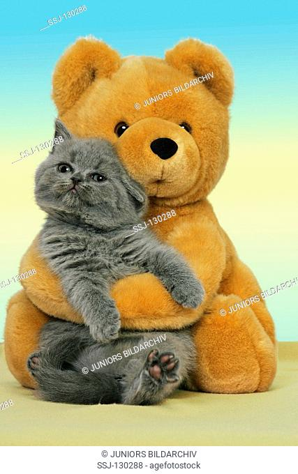 British Shorthair kitten - with teddybear