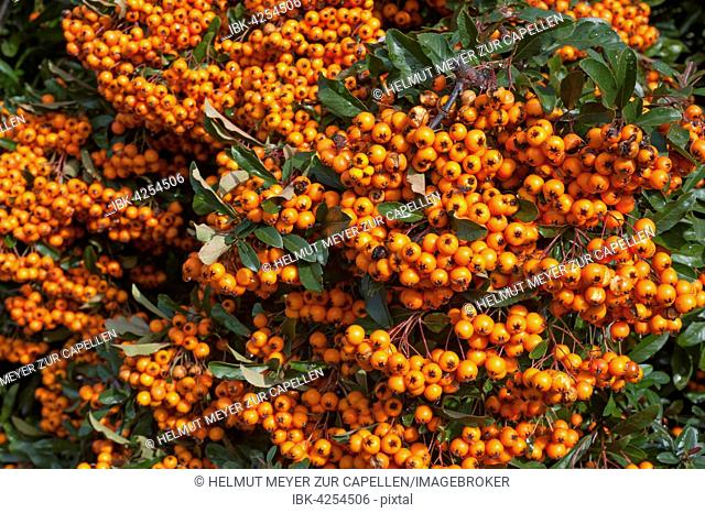 Firethorn (Pyracantha sp.) with berries, Bavaria, Germany