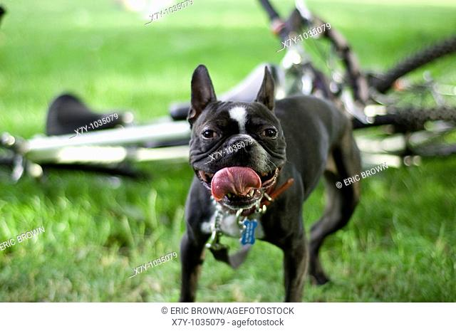 A Boston Terrier breathing heavily with its tongue out