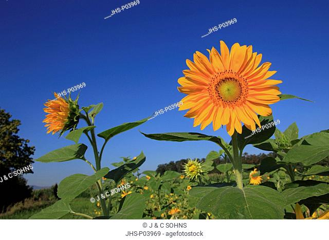Sunflower,Helianthus annuus,Ellerstadt,Germany,Europe,blooming