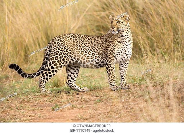Leopard (Panthera pardus), Masai Mara, Kenya, East Africa