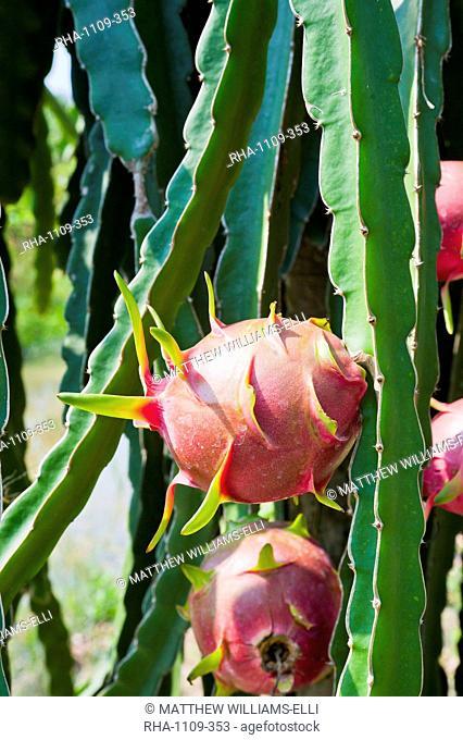 Dragon fruit at a fruit farm, Mekong Delta, Vietnam, Indochina, Southeast Asia, Asia