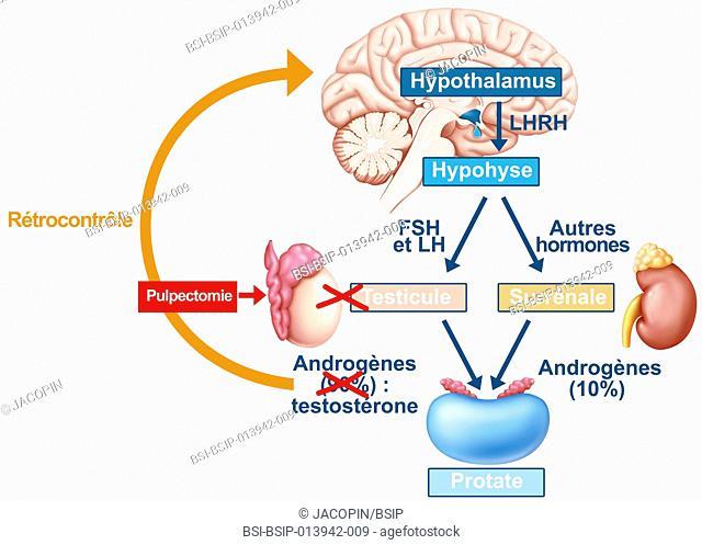 Illustration of male hormone control, a constant regulation. The hypothalamo-hypophyseal axis : the LHRH (or GnRH) gonadotropin-releasing hormone (GnRH)...