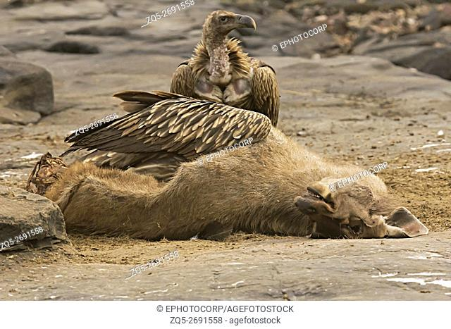 Himalayan vulture, Gyps himalayensis feeding on Sambar, Panna Tiger Reserve, Madhya Pradesh, India