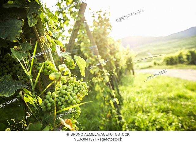 Grape cluster of Eguisheim vineyards, Alsace (department of Haut-Rhin, region of Grand Est, France)