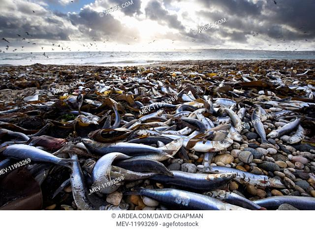 Sardines - Washed up on Marazion Beach - Cornwall - UK