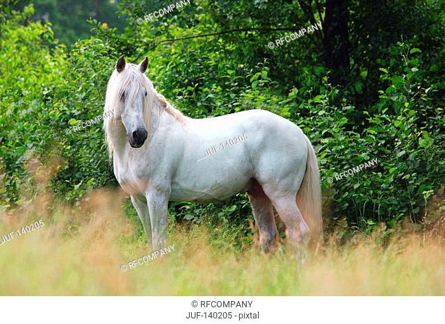 lusitano horse - standing on meadow