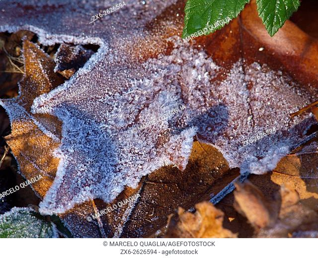 Frosted fallen autumn leaves. Arbucies countryside. Montseny Natural Park. Barcelona province, Catalonia, Spain