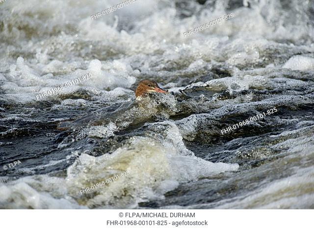 Goosander Mergus merganser adult female, swimming in fast-flowing river, River Nith, Dumfries and Galloway, Scotland, october
