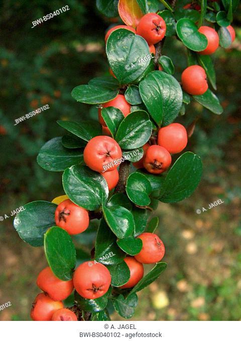 rock cotoneaster (Cotoneaster horizontalis), fruiting