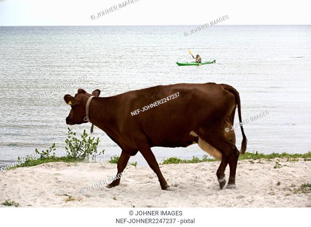 Cow on sandy beach