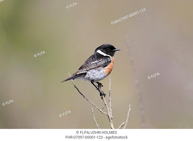 African Stonechat Saxicola torquatus adult male, perched on stem, Bontebok N P , Western Cape, South Africa, September