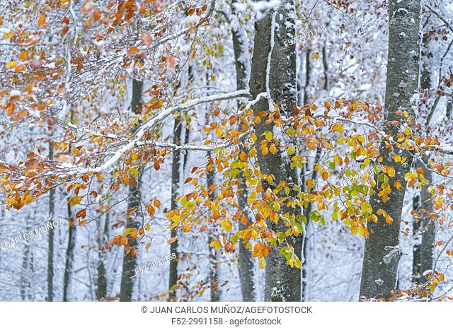 Snowy forest in autumn, Sierra Cebollera Natural Park, La Rioja, Spain, Europe