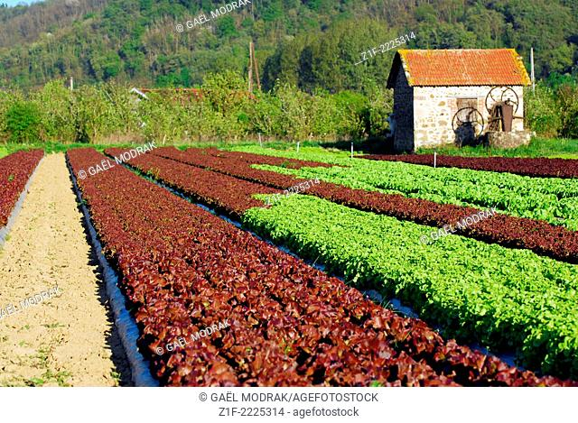 Fiels of geometric multicolored salads in the Rhône valley, France