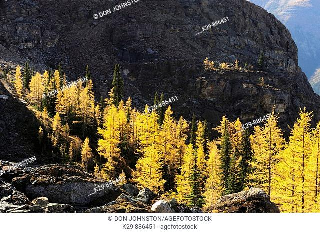 Western larches in autumn colour along McArthur Pass
