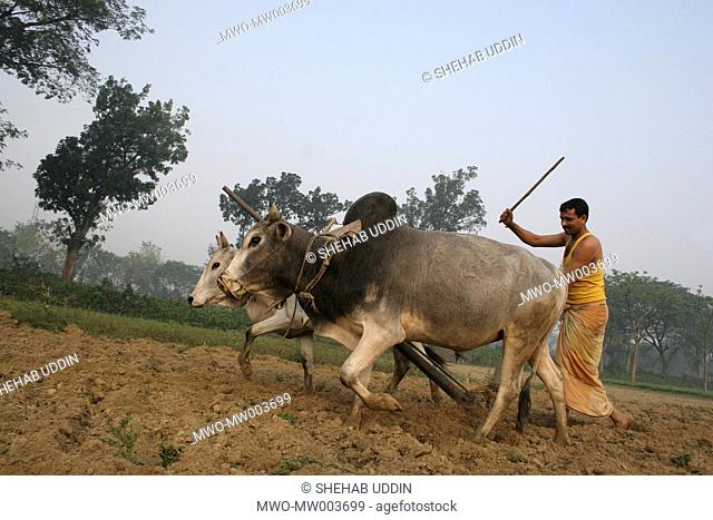 A Bangladeshi Farmer plows by cattle in Paddy Fields at Jessore on February 27, 20007 Rice is the main crop of Bangladesh