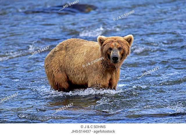 Grizzly Bear, (Ursus arctos horribilis), adult in water searching for food, Brookes River, Katmai Nationalpark, Alaska, USA, North America