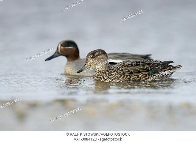 Teal ( Anas crecca ), female together with male, pair of teals, pair, in colourful breeding dress, swimming next to each other, Europe