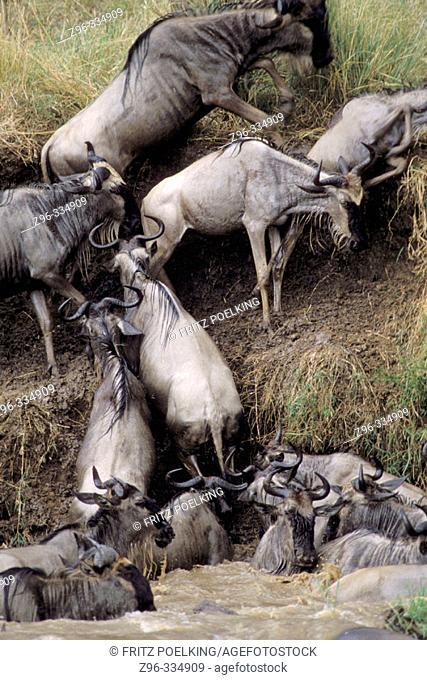 Blue Wildebeests (Connochaetes taurinus). Masai Mara Natural Reserve, Kenya