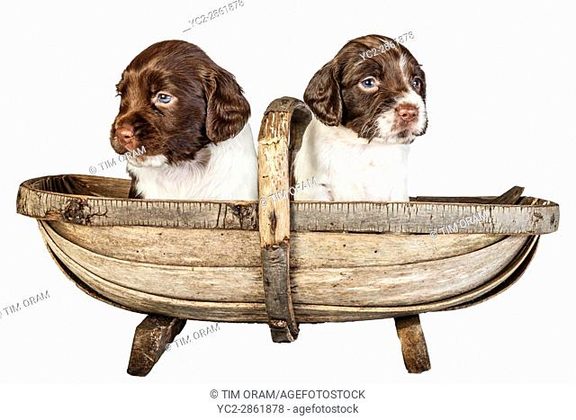 Two 4 week old liver and white English Springer Spaniel puppys in a trug