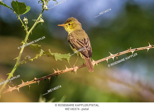 Germany, Saarland, Bexbach, A melodious warbler is sitting on a branch