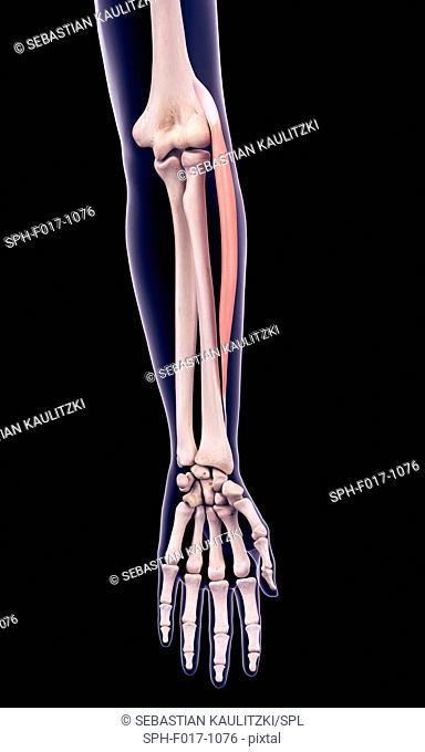 Illustration of the extensor carpi radialis longus muscle