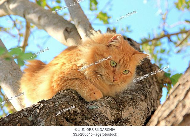 American Longhair, Maine Coon. Red adult on a tree. Spain