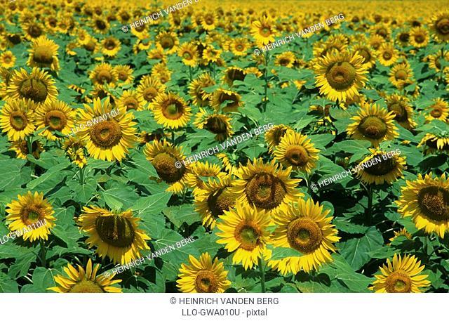 Field of Sunflowers  Ohrigstad, Mpumalanga Province, South Africa