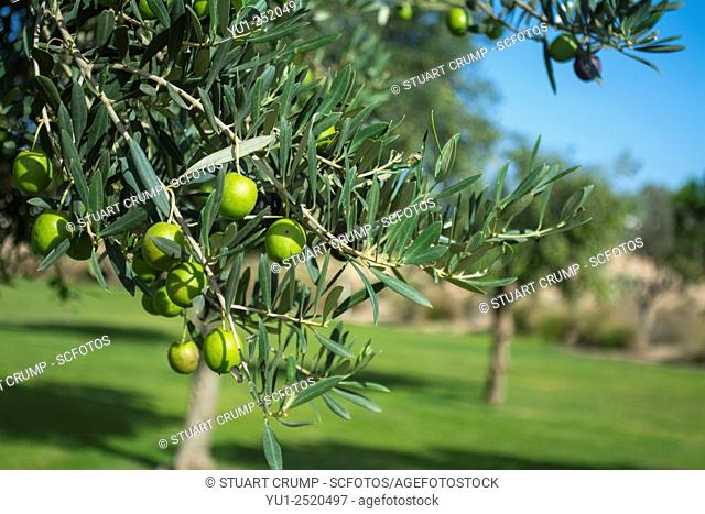Olives growing in the grounds at the Hacienda Riquelme Golf Resort, Murcia, Spain
