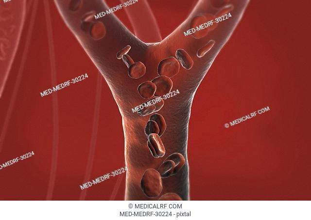 Capillary blood vessels