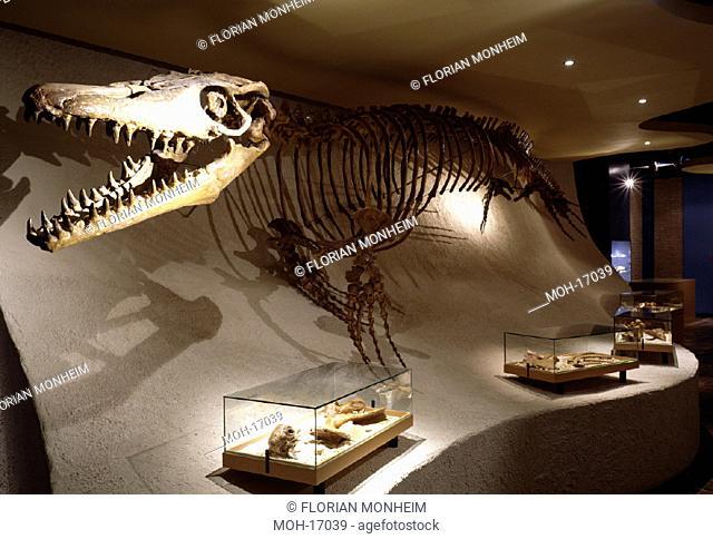 Maastricht, Naturhistorisches Museum/ Skelett eines Dinosaurier (Mosasaurus)