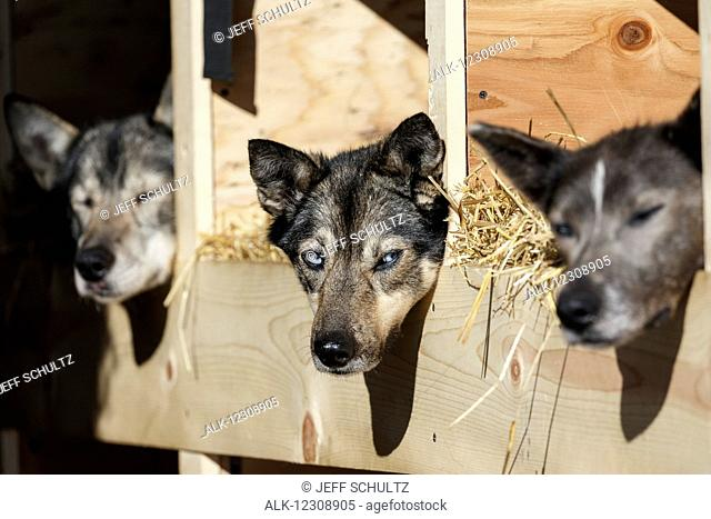 Katherine Keith's dogs rest in their dog box during the Restart of the 2016 Iditarod in Willow, Alaska