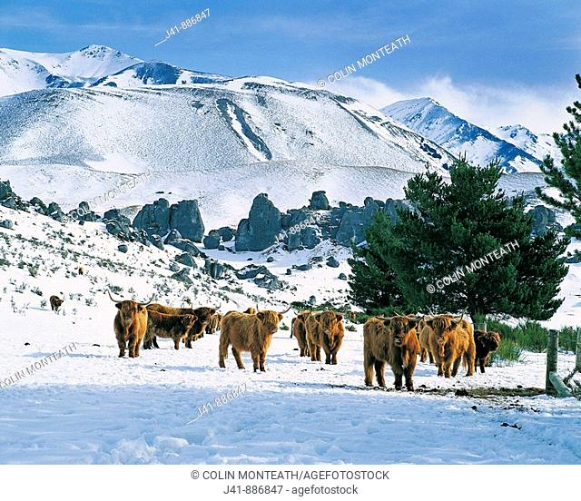 Highland cattle in winter snow Castle Hill station Canterbury New Zealand