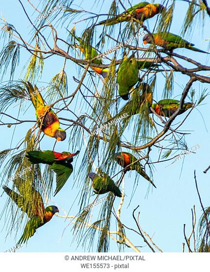 Lorikeets swarming from tree to tree at Cape Byron bay, New South Wales, Australia