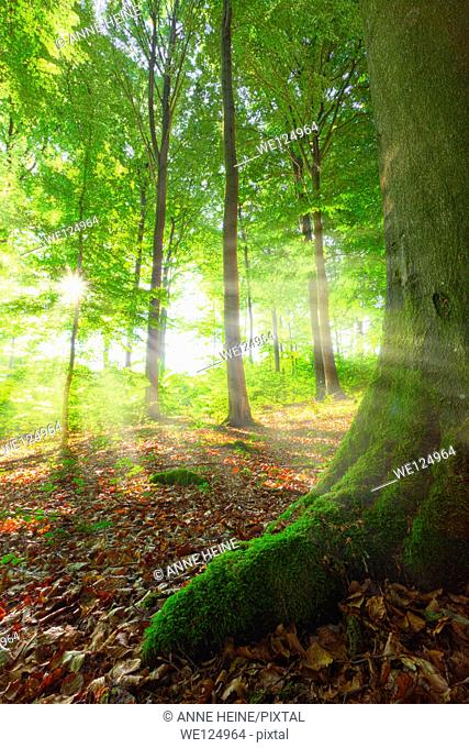 sunrays shining into a beech forest, location:warstein, sauerland, germany