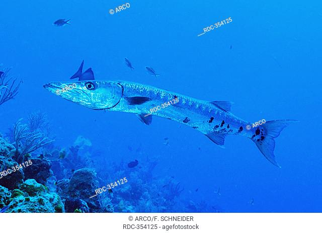 Great Barracuda, Maria La Gorda, Cuba / (Sphyraena barracuda)