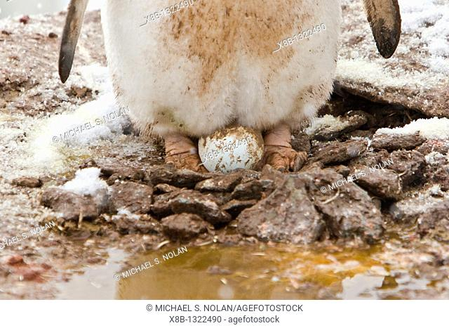 Adult gentoo penguin Pygoscelis papua nesting an egg on Petermann Island, Antarctica  There are an estimated 80,000 breeding gentoo penguin pairs in the...
