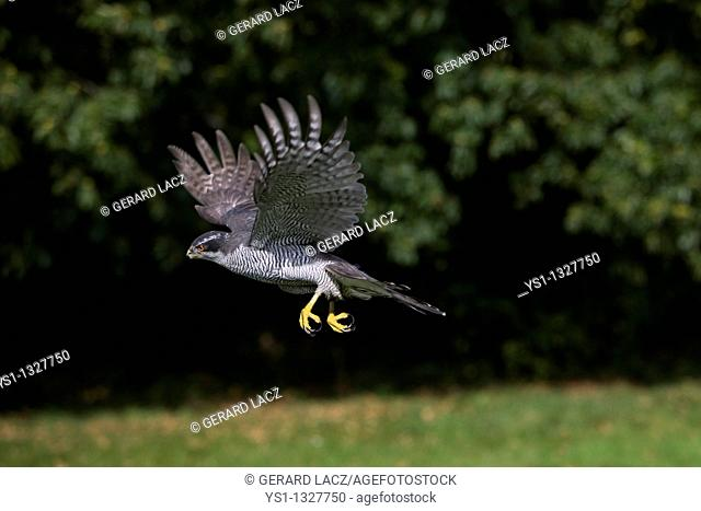 GOSHAWK accipiter gentilis, ADULT IN FLIGHT, NORMANDY IN FRANCE