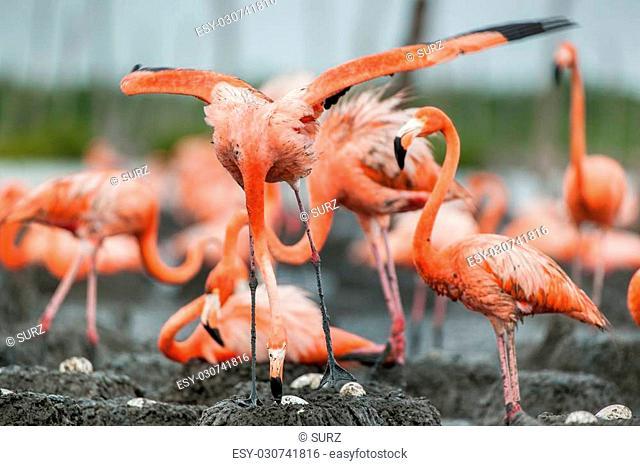 American Flamingos or Caribbean flamingos ( Phoenicopterus ruber ruber). Colony of Great Flamingo the on nests. Rio Maximo, Camaguey, Cuba